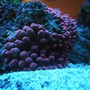 corals inverts - entacmaea quadricolor - bubble tip anemone stocking in 150 gallons tank - RBTA