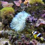 corals inverts - condylactis gigantea - condy anemone stocking in 36 gallons tank - Clarkii Clown heading off to his anemone