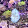 corals inverts - condylactis gigantea - condy anemone stocking in 36 gallons tank - lots to look at here