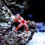 corals inverts - fromia sp. - marble sea star stocking in 46 gallons tank - Pebbles my Marble Star