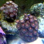corals inverts - zoanthus sp. - colony polyp, orange spot stocking in 10 gallons tank - zoas