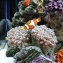 corals inverts - euphyllia paranchora - hammer / anchor coral, branching stocking in 20 gallons tank - november !!!!!! new pictures !!!!!!