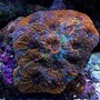 corals inverts - acanthastrea echinata - rainbow acan stocking in 135 gallons tank
