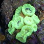 corals inverts - caulastrea furcata - candy cane coral stocking in 110 gallons tank - candy coral