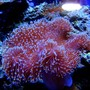 corals inverts - sarcophyton sp. - toadstool mushroom leather coral stocking in 46 gallons tank - My Toadstool Leather Coral