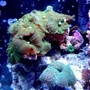 corals inverts - rhodactis sp. - green mushroom stocking in 46 gallons tank - Mushrooms!