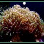 corals inverts - euphyllia paranchora - hammer / anchor coral, branching stocking in 125 gallons tank - Green Hammerhead coral