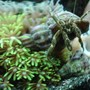corals inverts - clibanarius sp. - dwarf yellow tip hermit crab stocking in 120 gallons tank - Hermit grazing