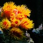 corals inverts - tubastrea faulkneri - orange sun coral stocking in 150 gallons tank - supersun coral