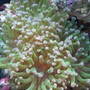 corals inverts - euphyllia paradivisa - frogspawn coral stocking in 45 gallons tank - frogspawn
