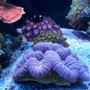 corals inverts - zoanthus sp. - button polyp, pink stocking in 75 gallons tank - Center of tank