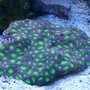 corals inverts - favites sp. - brain coral, favites stocking in 75 gallons tank - Metallic Green Favia