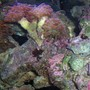 corals inverts - euphyllia paranchora - hammer / anchor coral, branching stocking in 125 gallons tank - crab and corals