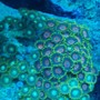 corals inverts - zoanthus sp. - button polyp, pink stocking in 37 gallons tank - zoa