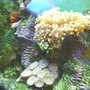 corals inverts - euphyllia paradivisa - frogspawn coral stocking in 30 gallons tank - Frogspawn Zoo's