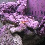 corals inverts - lysmata amboinensis - scarlet skunk cleaner shrimp stocking in 125 gallons tank - Skunk Cleaner II