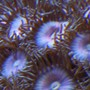 corals inverts - zoanthus sp. - blue ice zoanthids stocking in 38 gallons tank - Pink Zooanthids