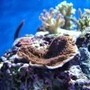 corals inverts - montipora capricornis - montipora capricornis, red/orange stocking in 35 gallons tank - monti