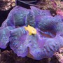 corals inverts - tridacna crocea - crocea clam stocking in 120 gallons tank - Crocea Clam and Yellow clown goby