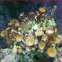 corals inverts - protopalythoa sp. - button polyp stocking in 50 gallons tank - coral