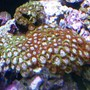 corals inverts - zoanthus sp. - colony polyp stocking in 24 gallons tank - bright mixed zoo rock