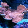 corals inverts - montipora capricornis - montipora capricornis, red/orange stocking in 75 gallons tank - Orange Monti Cap