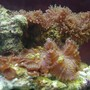 corals inverts - rhodactis inchoata - bullseye mushroom stocking in 75 gallons tank - mushrooms and some zoo's