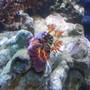 corals inverts - pseudocolochirus axilogus - sea apple, australian stocking in 144 gallons tank - Cucumber