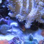 corals inverts - rhodactis indosinensis - hairy mushroom stocking in 46 gallons tank - Corals