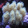 corals inverts - sinularia sp. - finger leather coral stocking in 46 gallons tank - Corals