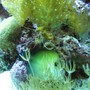 corals inverts - undescribed zoanthid - colony polyp, yellow stocking in 75 gallons tank - my sea horse