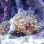 corals inverts - euphyllia paradivisa - frogspawn coral - branched stocking in 46 gallons tank - newest addition green/purple frogspawn