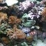 corals inverts stocking in 46 gallons tank - corals