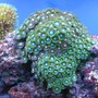 corals inverts - zoanthus sp. - colony polyp stocking in 55 gallons tank - multi color Zoan