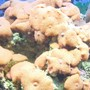 corals inverts - actinodiscus sp. - red mushroom stocking in 125 gallons tank - red mushrooms growing out of control