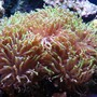 corals inverts - euphyllia paranchora - hammer / anchor coral, branching stocking in 125 gallons tank - Hammer coral