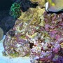 corals inverts stocking in 90 gallons tank - zoes