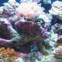 corals inverts stocking in 12 gallons tank - 12 Gal. JBJ nano 1mo. old.