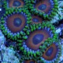 corals inverts - zoanthus sp. - eagle eye polyp stocking in 60 gallons tank - Eagle Eyes