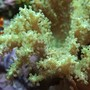 corals inverts - sinularia sp. - green finger leather coral stocking in 37 gallons tank - Green Sinularis leather coral