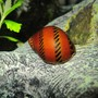 corals inverts - nerita sp. - nerite snail stocking in 16 gallons tank - Freshwater Tracked Nerite Snail