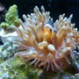 corals inverts - entacmaea quadricolor - rose bulb anemone stocking in 50 gallons tank - My baby Ocellaris clown in his baby rose bubble tip anemone!