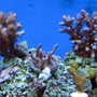 corals inverts - montipora digitata - montipora digitata, purple stocking in 120 gallons tank - poccilipora, acro's , and monti digitata