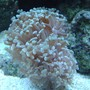 corals inverts - euphyllia paranchora - hammer / anchor coral, branching stocking in 55 gallons tank - Hammer Coral.