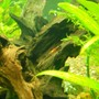 corals inverts - neocaridina denticulata sinensis - red cherry shrimp stocking in 75 gallons tank - Red Shrimp