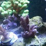 corals inverts - tridacna derasa - derasa clam stocking in 72 gallons tank - 1