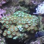 corals inverts - zoanthus sp. - colony polyp, orange/green stocking in 55 gallons tank - Green Zoo's