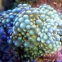 corals inverts - ricordea yuma - flower / ricordea mushroom, green stocking in 46 gallons tank - Ricordea Yuma