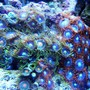corals inverts - zoanthus sp. - colony polyp, fire & ice stocking in 46 gallons tank - Mixed Zoanthids