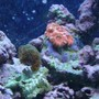 corals inverts - acanthastrea lordhowensis - acan stocking in 30 gallons tank - pink acan and cats paw
